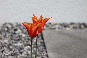Schotterbeet mit großem Steinquarder und zwei einzelnen Tulpen
